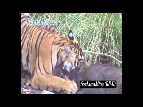 Tiger hunting Wild Boar in Kanha