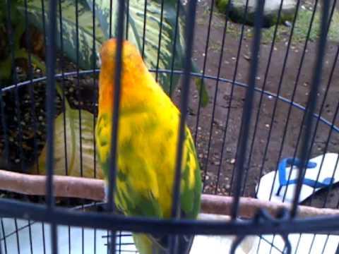 download gambar lovebird blorok bs mp3 amp mp4 mp3koplo co