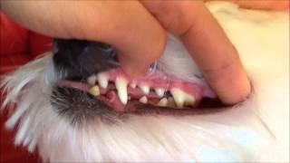 How To Brush Dog's Teeth (maltese)