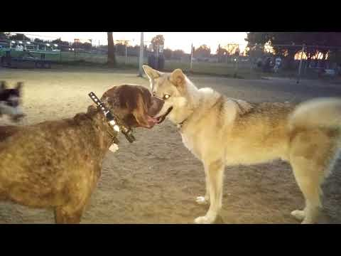 Wolf Dog vs German Shorthaired Pointer Dog Park Battle