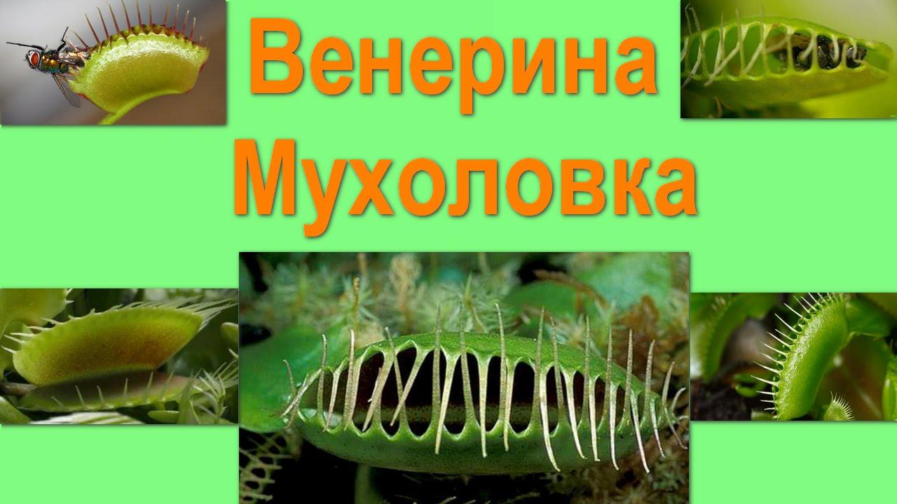 Венерина мухоловка. Хищные растения
