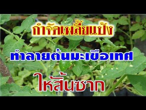กำจัดเพลี้ยแป้งกินต้นมะเขือเทศให้สิ้นซาก I เกษตรปลอดสารพิษ