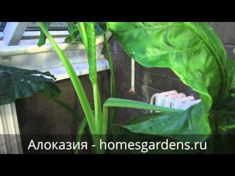 Обзор больших растений: алоказия