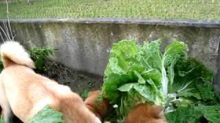美味しそうに白菜をかじる山陰柴犬.