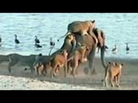 המיוחדים - פיל צעיר בודד מול 14 אריות רעבים. איך זה ייגמר?