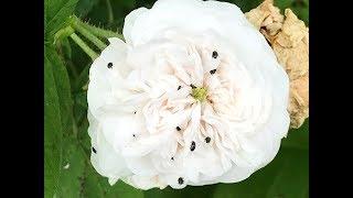 Gambar cover Rosier ancien Rosa damascena 'Mme Hardy' Blanc pur et belle texture.