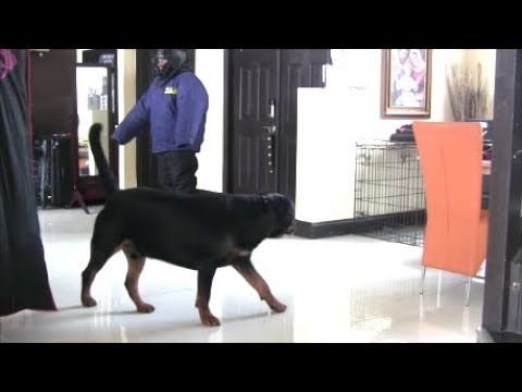 Will Rottweiler protect his home and family?