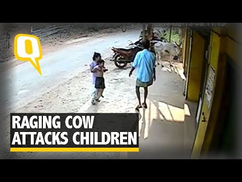Caught On Camera: Sister Saves Little Brother From Raging Cow | The Quint