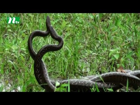 People gathered to see two snakes playing on a field in Natore