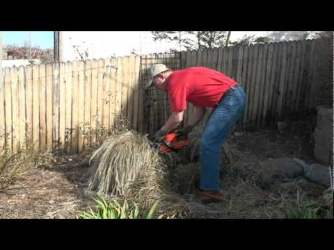 Pruning a  Karl Foerster Grass to promote the best spring growth