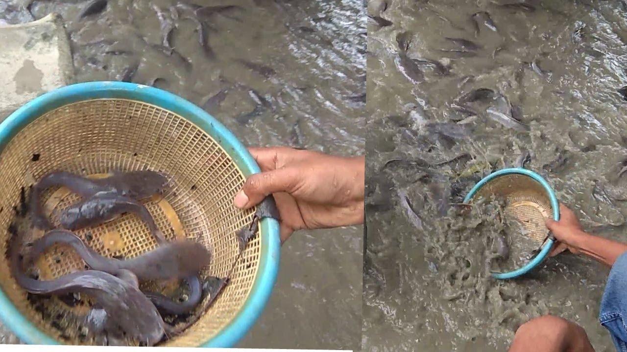 100+ Magur Fish – yasminroohi