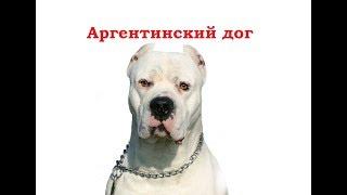 PetLife......Выбор щенка.....Аргентинский дог.....
