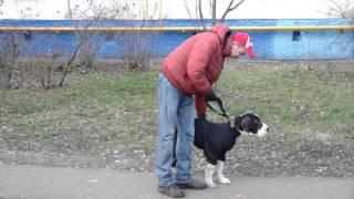 Дрессировка щенка дога. http://www.dogclass.ru/