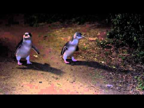 The PENGUIN PARADE!   Daily Planet