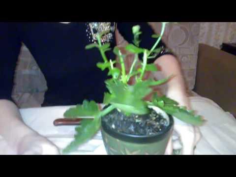 Мои комнатные растения. Каланхоэ: обрезка