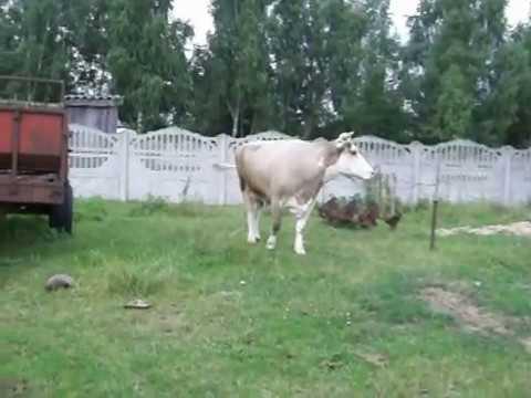 Krowy Dziadka Stasia Youtube