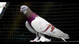 Продам пару голубей за 100 баксов Смотрите до конца