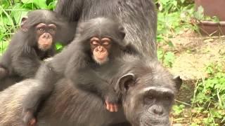 Download Video チンパンジー 双子の赤ちゃん119  Chimpanzee twin baby MP3 3GP MP4