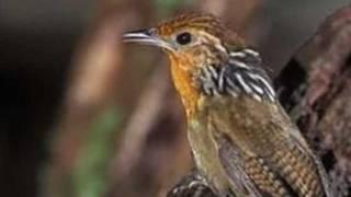 Aves do Brasil - Uirapuru. O canto mais lindo do Brasil.