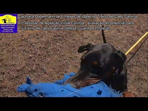 Cachorra Dobermann de 6 meses de idade no Treino de cães Caniroa