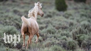 Watch why some wild horses are the most controversial animals in the West