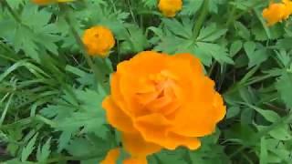 Жарки Цветы Жарки Цветы огоньки Лесные цветы полевые цветы