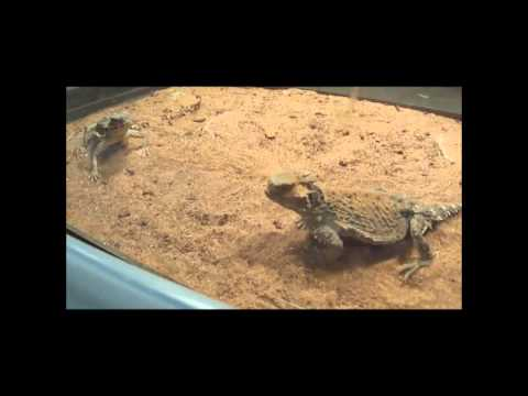 """Lynn-zilla""  Rehabbed and Now Eating Well - Wichita Falls Reptile Rescue"