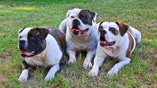 ** How Do You Stop An American Bulldog Pup From Peeing All Over Your House? For Real!!