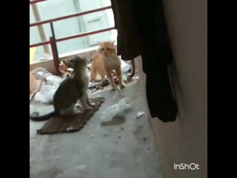 Angry cats fighting mustwatch (with sound)
