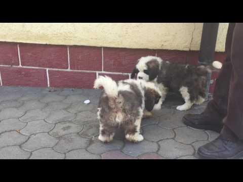 Saint Bernard  2 male for sale Euro Puppy