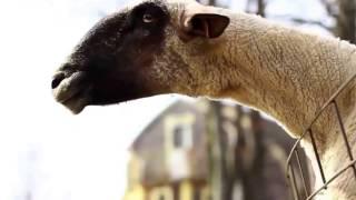 Козы и овцы кричат как люди