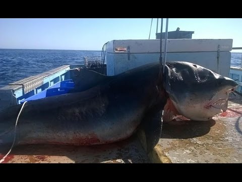 Giant SIX metre TIGER SHARK caught off Seven Mile beach in One of Australia's popular surfing spots