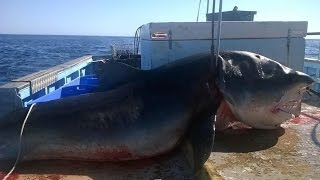giant six metre tiger shark caught off seven mile beach in one of australia s popular surfing spots