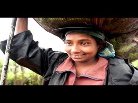 Promoting Decent Work Standards in the Sri Lankan Tea Sector through UTZ Certification
