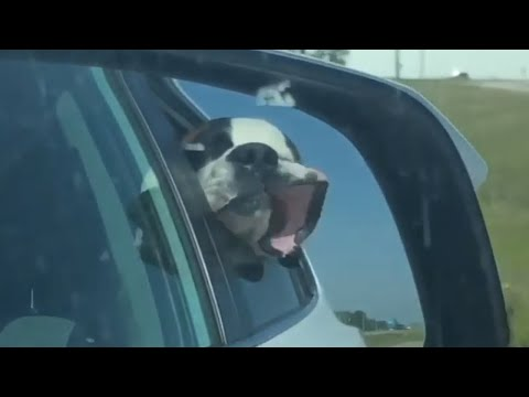 Dog enjoys the ride while his face hilarious flaps in the wind