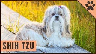 Shih Tzu  Dog Breed Information