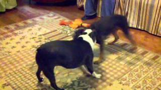 Boston Terrier Vs Min Pin