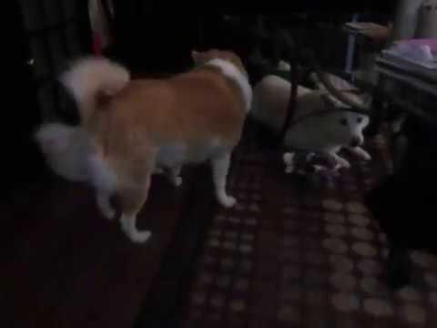 Papillon Pomeranian Mix New Addition Youtube