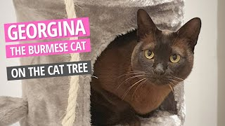 The one with Georgina the Burmese Cat on the Cat Tree and Cat scratcher
