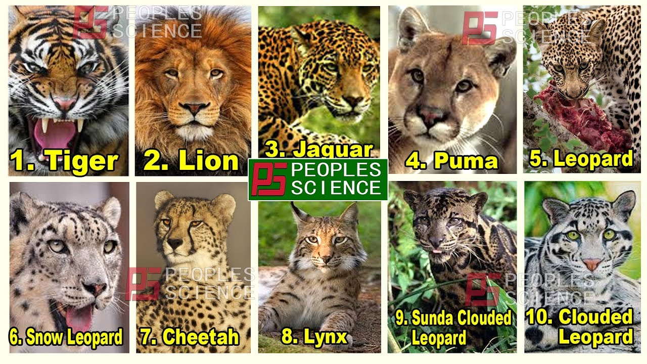 Large Cats Of The World