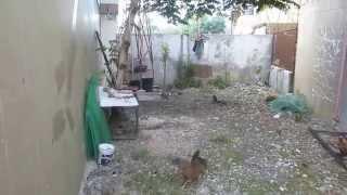 説明 フィリピンは chiken faght 闘鶏が盛んだ。 死闘なので敗者には死...