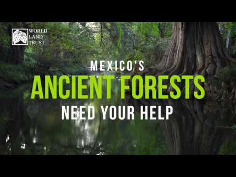 Saving Mexico's Ancient Forests