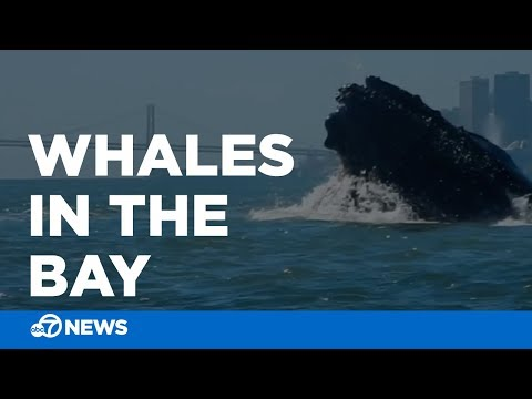 Humpback whales feed in SF Bay