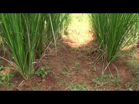 வெட்டிவேர் - உற்பத்தி - பயன்கள் - Vetiver - Cultivation - Uses - Value Addition