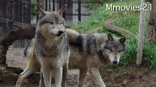 Eastern timber wolf シンリンオオカミ家族 ショウに訪れた変化 thumbnail