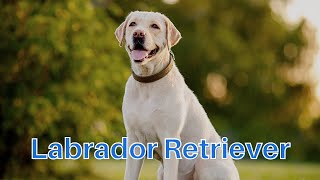 Labrador Retriever  Dog Breed Information