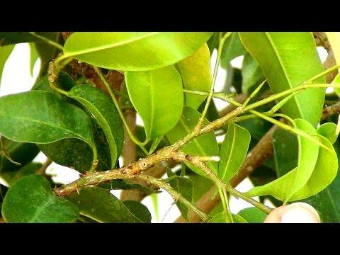 Простой способ борьбы со щитовкой   ложнощитовка   уничтожить   бенджамина   нападение   щитовкой   средство   щитовку   щитовки   щитовка   муравьи