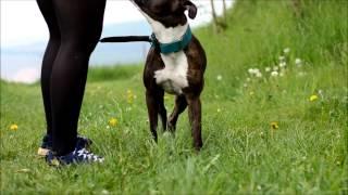 Es Gibt Keine Kampfhunde! - American Staffordshire Terrier - Rahja