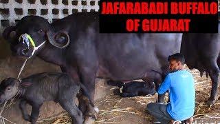 My experience with Jafarabadi Buffaloes of Gujarat