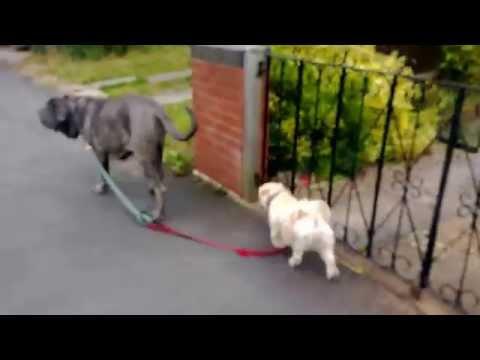 lhasa apso being walked by neapolitan mastiff
